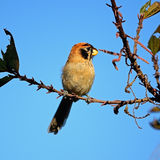 Spot-breasted Parrotbill Stock Photo
