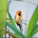 Spot-breasted Parrotbill Royalty Free Stock Image