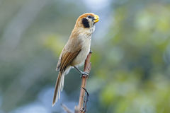 Spot-breasted Parrotbill Paradoxornis guttaticollis Beautiful Birds of Thailand Stock Image