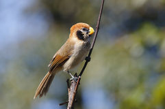 Spot-breasted Parrotbill Paradoxornis guttaticollis Royalty Free Stock Photo