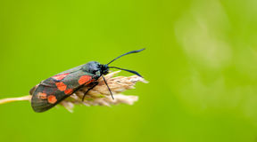 6-spot burnet moth. A 6-spot burnet moth (Zygaena filipendulae) rests in an English meadow on a grass seed head Stock Photo