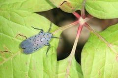 Spot clothing wax cicada Stock Image