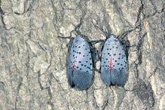 Spot clothing wax cicada Stock Photo