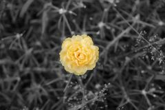 Spot colour orange on black and white images,yellow or orange portulaca grandiflora flower stock photography