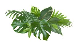 Spot of exotic plant green leaves isolated on white background Stock Image