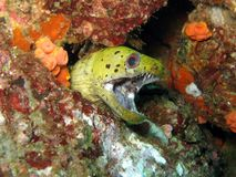 Spot Face Moray Eel - Gymnothorax fimbriatus Stock Images