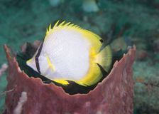Spot fin Butter Fly FIsh on a reef. Royalty Free Stock Images