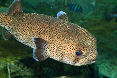 Spot-fin Porcupinefish Stock Images
