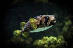 Spot-fin porcupinefish Royalty Free Stock Photos