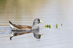 Spot flanked Gallinule. La Pampa stock photography