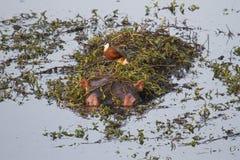 Spot the Hippo. Malelane Rest Camp Stock Photo