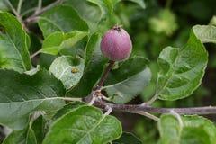 22-spot ingialliscono la coccinella sulla foglia di di melo Immagine Stock Libera da Diritti