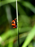 Spot ladybird 1 Royalty Free Stock Images