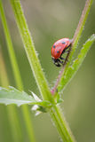 7-spot Ladybird Fotografie Stock Libere da Diritti