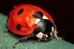 7-spot Ladybird Images stock