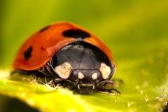 7-spot Ladybird Images libres de droits