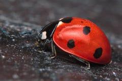 7-spot Ladybird Image stock