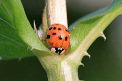 14 spot Ladybird Beetle. On plant taking a drink in early morning stock illustration