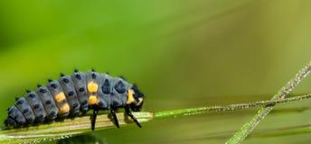 7-spot ladybird larwy Zdjęcie Royalty Free