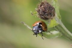 7-spot ladybird on leaf royalty free stock image