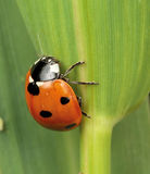 7 spot Ladybird Royalty Free Stock Photos