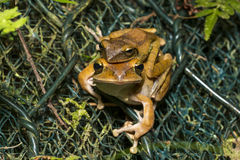 Spot-legged Tree Frog mating Stock Photography