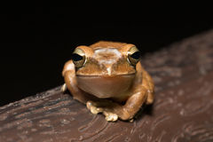 Spot-legged Tree Frog Royalty Free Stock Images