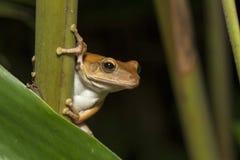 Spot-legged Tree Frog Royalty Free Stock Photos