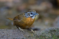 Spot-necked Babbler ( Stachyris striolata ) Royalty Free Stock Photos
