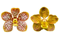 Spot orchid flower isolated Royalty Free Stock Images