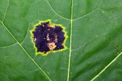Spot of the plant pathogen Rhytisma acerinum. On a maple leaf Stock Image