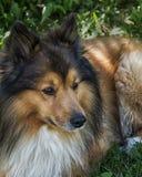 Spot the Shetland dog Royalty Free Stock Photography