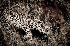 Spot the Spots. A young leopard in the bush Royalty Free Stock Images