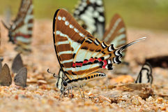 Spot swordtail Royalty Free Stock Photo