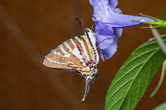 Spot Swordtail butterfly Stock Images