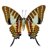 Spot Swordtail butterfly Royalty Free Stock Photos