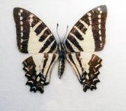 Spot swordtail butterfly Graphium nomius Stock Photo