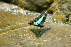 Spot swordtail  Graphium nomius  butterfly drinking mineral Stock Image