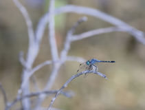 Spot-tailed Dasher (Micrathyria aequalis ) Dragonfly Stock Photo