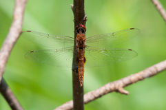 Spot-winged Glider. Hanging from a branch royalty free stock photography