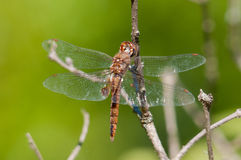 Spot-winged Glider. Hanging from a branch royalty free stock image