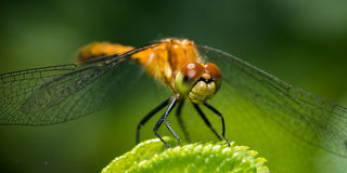 Spot Winged Meadowhawk Royalty Free Stock Photos