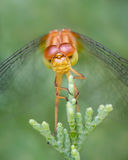 Spot-Winged Meadowhawk II. Frontal Portrait of a Spot-Winged Meadowhawk Dragonfly Royalty Free Stock Photography