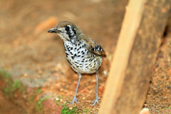 Spot-winged Thrush Stock Images