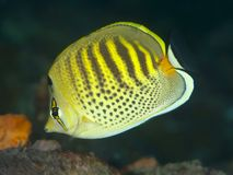 Spotband butterflyfish Royalty Free Stock Image