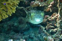 Spotbase burrfish eller yellowspotted burrfish royaltyfri fotografi