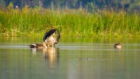 Spotbilled鸭子,拍手 库存照片