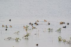 Spotbilled Ducks and Migratory Ducks. Swimming in water of the wetland royalty free stock image