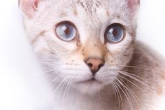 Spoted bengal cat's face Stock Photography