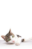 Spoted cat. A young cat focus at something Royalty Free Stock Photo